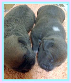 アメリカンピットブルテリア 子犬販売の専門店 AngelWan 横浜