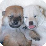 柴犬 赤 白 子犬販売の専門店 AngelWan 横浜