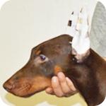ドーベルマン チョコレート&タン オス 子犬販売の専門店 AngelWan 横浜