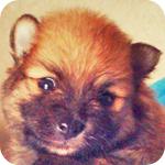 ポメラニアン セーブル オス 子犬販売の専門店 AngelWan 横浜