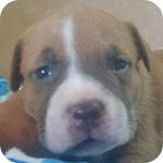 アメリカンピットブルテリア ブルーフォーン&ホワイト オス 子犬販売の専門店 AngelWan 横浜
