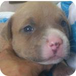 アメリカンピットブルテリア フォーン&ホワイト オス 子犬販売の専門店 AngelWan 横浜