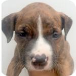 アメリカンピットブルテリア ブリンドル オス 子犬販売の専門店 AngelWan 横浜