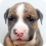 アメリカンピットブルテリア ブリンドル メス 子犬販売の専門店 AngelWan 横浜