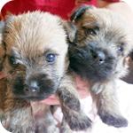 ケアーンテリア ウィートン 子犬販売の専門店 AngelWan 横浜