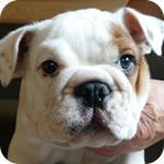ブルドッグ レッド&ホワイト オス 子犬販売の専門店 AngelWan 横浜