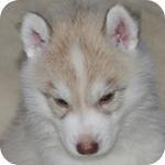 シベリアンハスキー コパー オス 子犬販売の専門店 AngelWan 横浜
