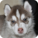 シベリアンハスキー レッド&ホワイト メス 子犬販売の専門店 AngelWan 横浜
