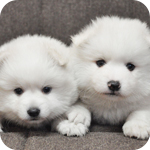 スピッツ 子犬販売の専門店 AngelWan 横浜