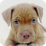 アメリカンピットブルテリア イザベラ オス 子犬販売の専門店 AngelWan 横浜