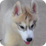シベリアンハスキー コパー&ホワイト オス 子犬販売の専門店 AngelWan 横浜