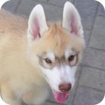 シベリアンハスキー コパー&ホワイト メス 子犬販売の専門店 AngelWan 横浜