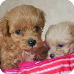 ミックス マルプー オス 子犬販売の専門店 AngelWan 横浜