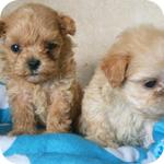 ミックス マルプー メス 子犬販売の専門店 AngelWan 横浜