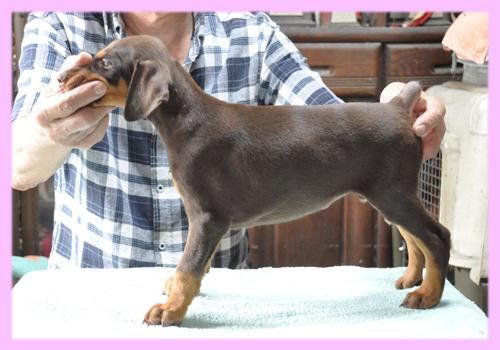ドーベルマン レッド&タン メス 子犬販売の専門店 AngelWan 横浜