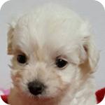 ミックス チワプー メス 子犬販売の専門店 AngelWan 横浜