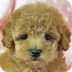 トイプードル レッド メス 子犬販売の専門店 AngelWan 横浜