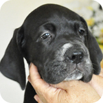 グレートデーン ブラック メス 子犬販売の専門店 AngelWan 横浜