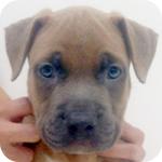 アメリカンピットブルテリア ブルーフォーン オス 子犬販売の専門店 AngelWan 横浜