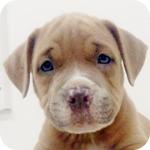 アメリカンピットブルテリア ブルーフォーンホワイト オス 子犬販売の専門店 AngelWan 横浜
