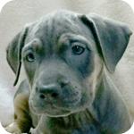 アメリカンピットブルテリア ブルータン メス 子犬販売の専門店 AngelWan 横浜