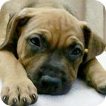 アメリカンピットブルテリア レッド オス 子犬販売の専門店 AngelWan 横浜