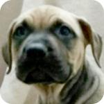 アメリカンピットブルテリア レッド メス 子犬販売の専門店 AngelWan 横浜