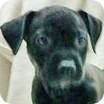 アメリカンピットブルテリア ブラックタン メス 子犬販売の専門店 AngelWan 横浜