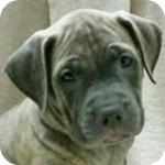 アメリカンピットブルテリア ブルーブリンドル オス 子犬販売の専門店 AngelWan 横浜