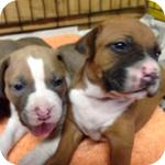 アメリカンピットブルテリア メス 子犬販売の専門店 AngelWan 横浜