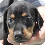 ドーベルマン ブラックタン メス 子犬販売の専門店 AngelWan 横浜