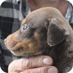 ドーベルマン レッド&タン オス 子犬販売の専門店 AngelWan 横浜