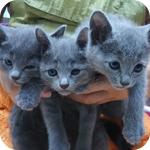 ロシアンブルー メス 子犬子猫販売の専門店 AngelWan 横浜