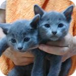 ロシアンブルー オス 子犬子猫販売の専門店 AngelWan 横浜