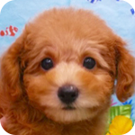 トイプードル レッド タイニー オス 子犬販売の専門店 AngelWan 横浜