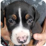 アメリカンピットブルテリア ブラックタンホワイト メス 子犬販売の専門店 AngelWan 横浜