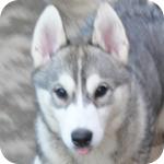 シベリアンハスキー メス 子犬販売の専門店 AngelWan 横浜