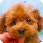 トイプードル レッド オス ティーカップ 子犬販売の専門店 AngelWan 横浜