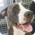 アメリカンピットブルテリア ブルーホワイト メス 子犬販売の専門店 AngelWan 横浜