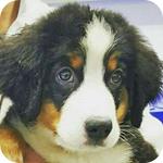 バーニーズマウンテンドッグ ブラックラストホワイト メス 子犬販売の専門店 AngelWan 横浜