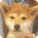 柴犬 赤 オス 子犬販売の専門店 AngelWan 横浜