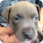アメリカンピットブルテリア ブルーフォーン メス 子犬販売の専門店 AngelWan 横浜