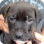 アメリカンピットブルテリア マホガニー メス 子犬販売の専門店 AngelWan 横浜