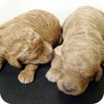 スタンダードプードル アプリコット レッド 子犬販売の専門店 AngelWan 横浜