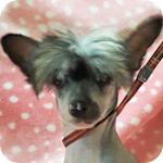 チャイニーズクレステッドドッグ オス 子犬販売の専門店 AngelWan 横浜