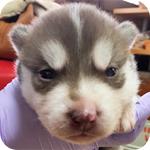 シベリアンハスキー チョコレート&ホワイト メス 子犬販売の専門店 AngelWan 横浜