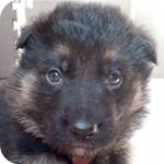 ジャーマンシェパードドッグ ブラックタン オス 子犬販売の専門店 AngelWan 横浜