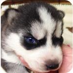 シベリアンハスキー ブラック&ホワイト オス 子犬販売の専門店 AngelWan 横浜