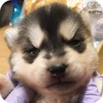 シベリアンハスキー ブラック&ホワイト メス 子犬販売の専門店 AngelWan 横浜
