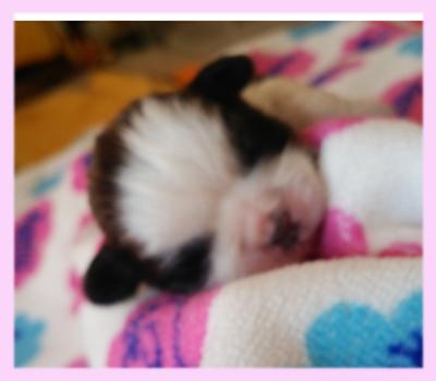 シーズー レッド&ホワイト メス 子犬販売の専門店 AngelWan 横浜